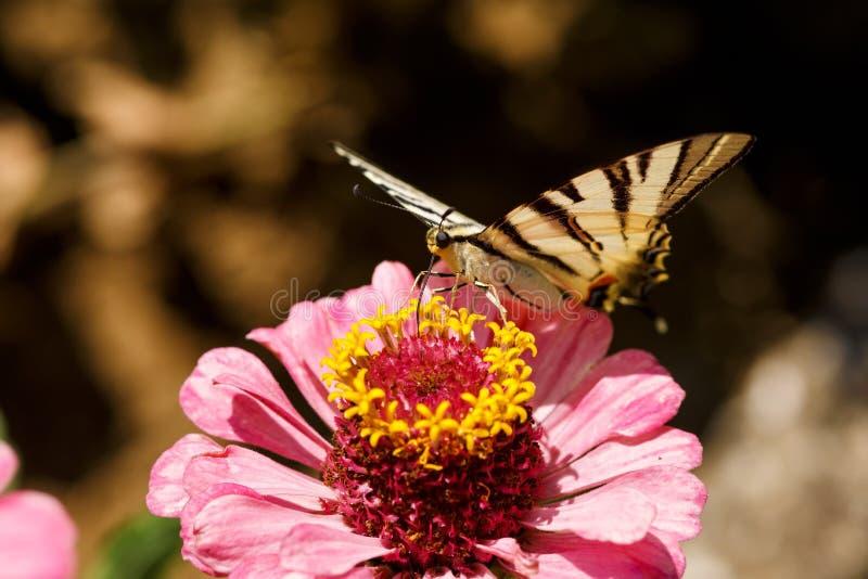 一只Swallowtail Papilionidae蝴蝶的宏指令在百日菊属elegans的开花反对被弄脏的自然本底在一个明亮的夏日 图库摄影