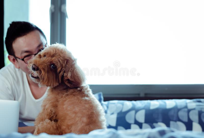 一可爱的棕色狮子狗看照相机的什么时候享用和满意对在以后在床上工作的所有者在醒 免版税库存图片