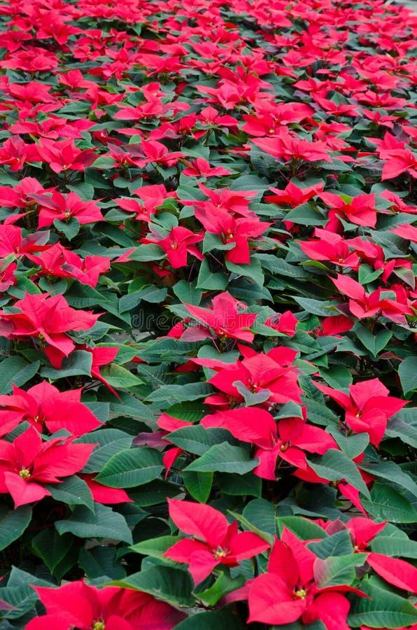 一品红的温室耕种 库存照片