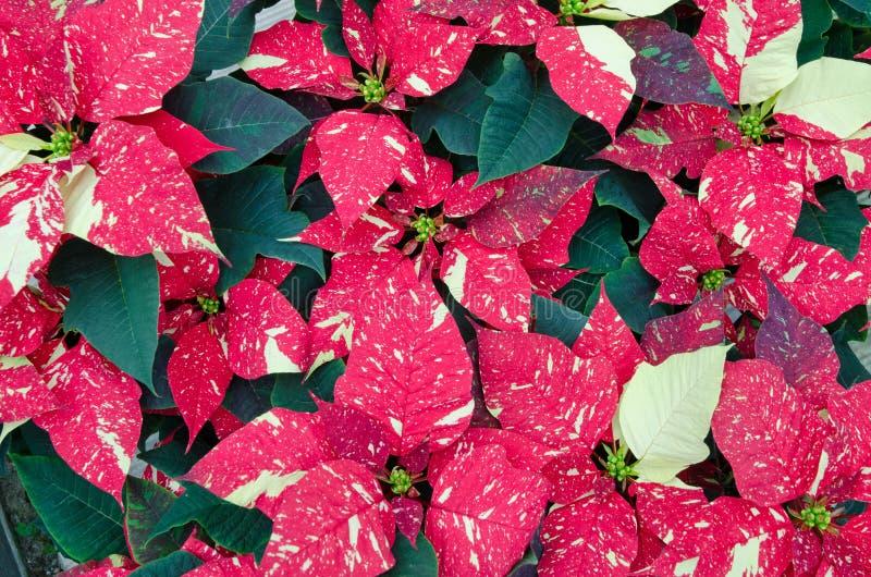 一品红的温室耕种 免版税库存照片