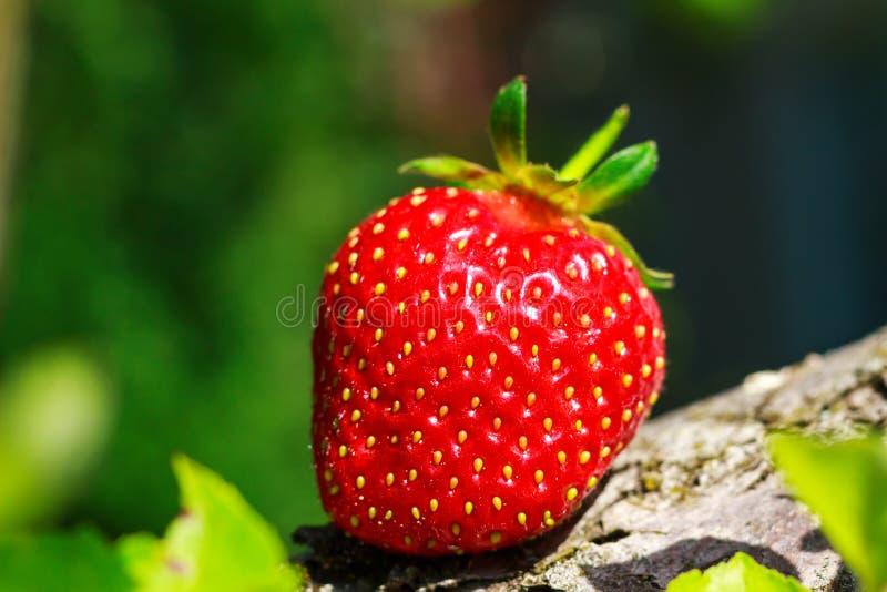 一在树干的成熟草莓在庭院,特写镜头里 免版税库存照片