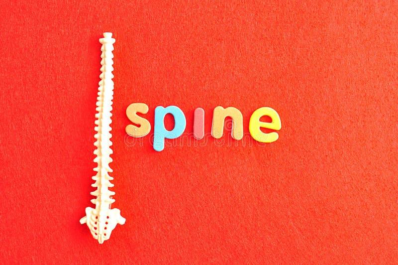 一块人的脊椎的塑料模型与词脊椎的 库存照片