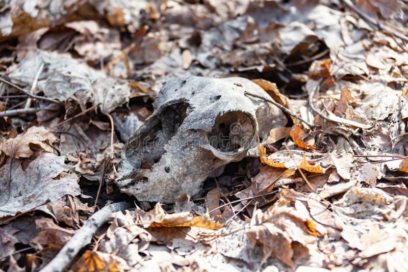 一块头骨在叶子的森林里 免版税库存照片