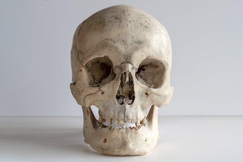 一块真正的人的头骨,在轻的背景的特写镜头 免版税库存照片