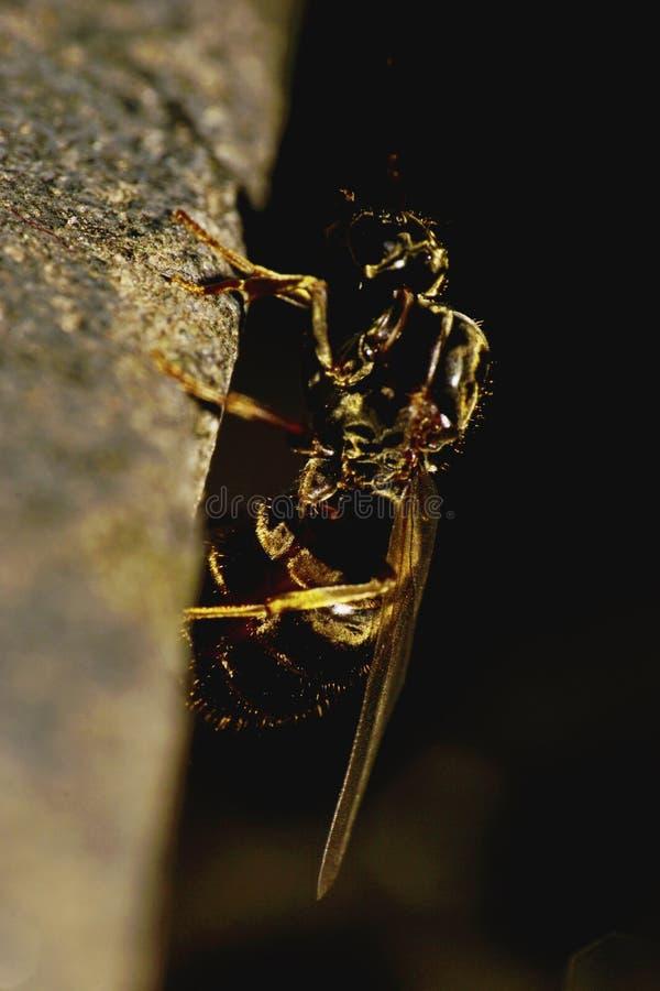一垂直爬行的宏观侧视图一个飞过的蚂蚁白种人 免版税图库摄影