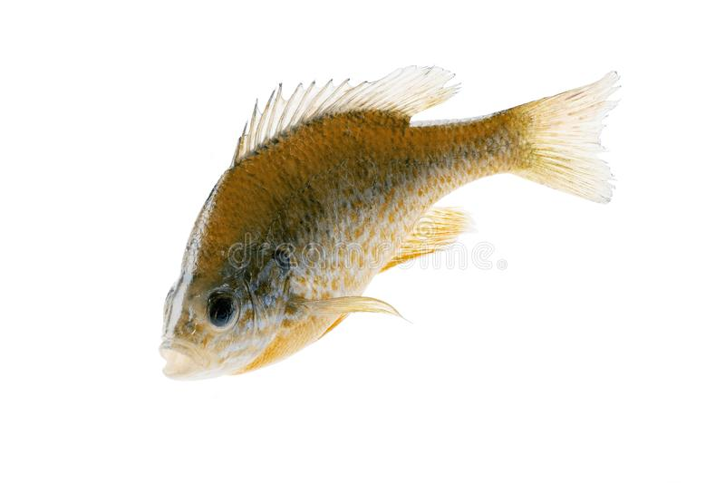 一大大翻车鱼翻车鱼Lepomis macrochirus,特写镜头 库存图片
