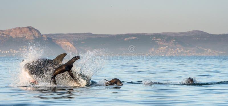一大白鲨鱼噬人鲨属carcharias的狩猎在日出的 免版税图库摄影