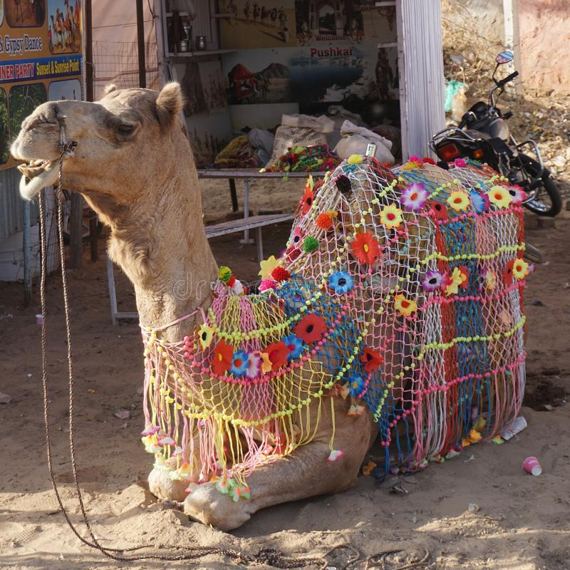 一头俏丽的骆驼 免版税库存照片