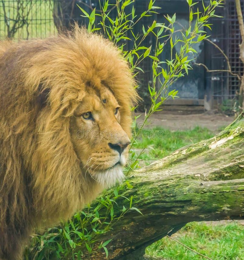 一头公狮子的头的特写镜头,密林,普遍的动物园动物的国王从非洲的 免版税库存照片