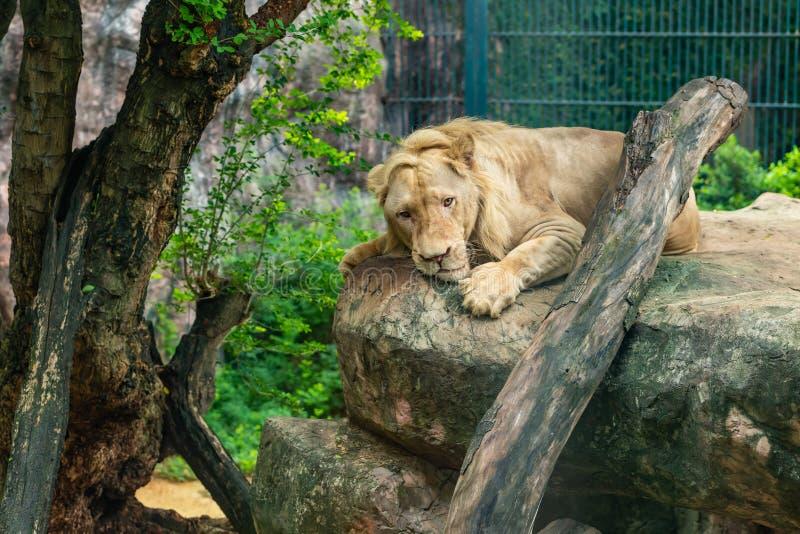 一头公白色狮子在大岩石说谎在动物园里 免版税库存图片