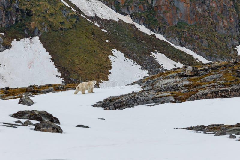 一头北极熊在卑尔根群岛群岛的石小山站立 库存图片
