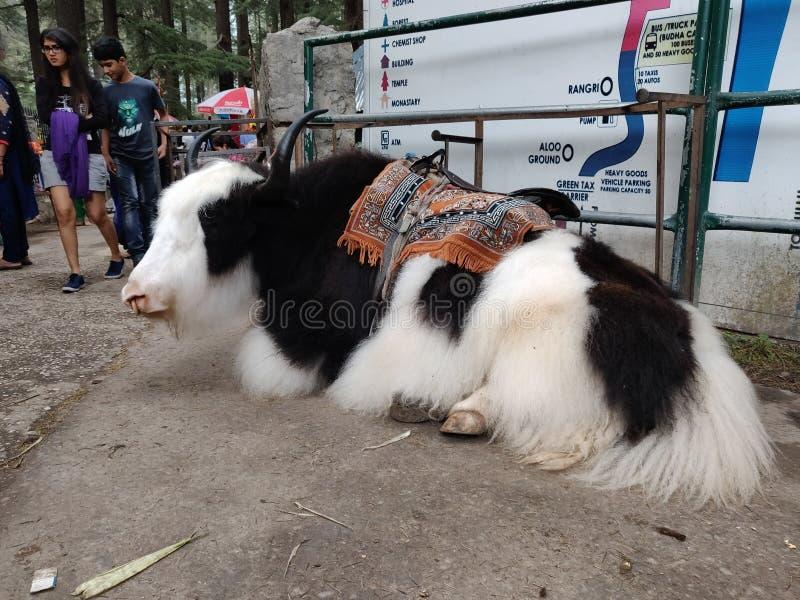 一头喜马拉雅牦牛 库存照片