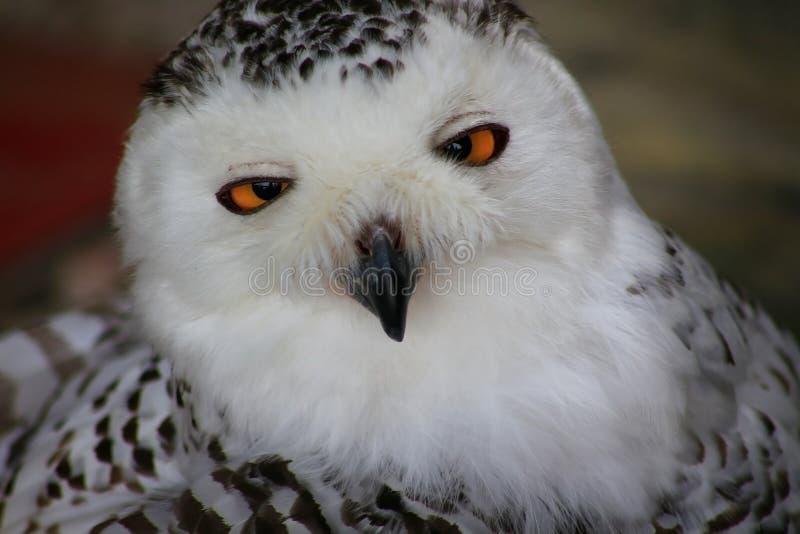 一头多雪的猫头鹰的面孔 画象 免版税库存照片