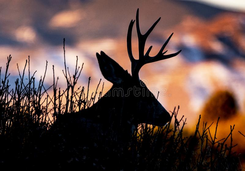 一头大型装配架鹿的清早睡觉剪影反对改变的秋天色的山的 免版税库存照片