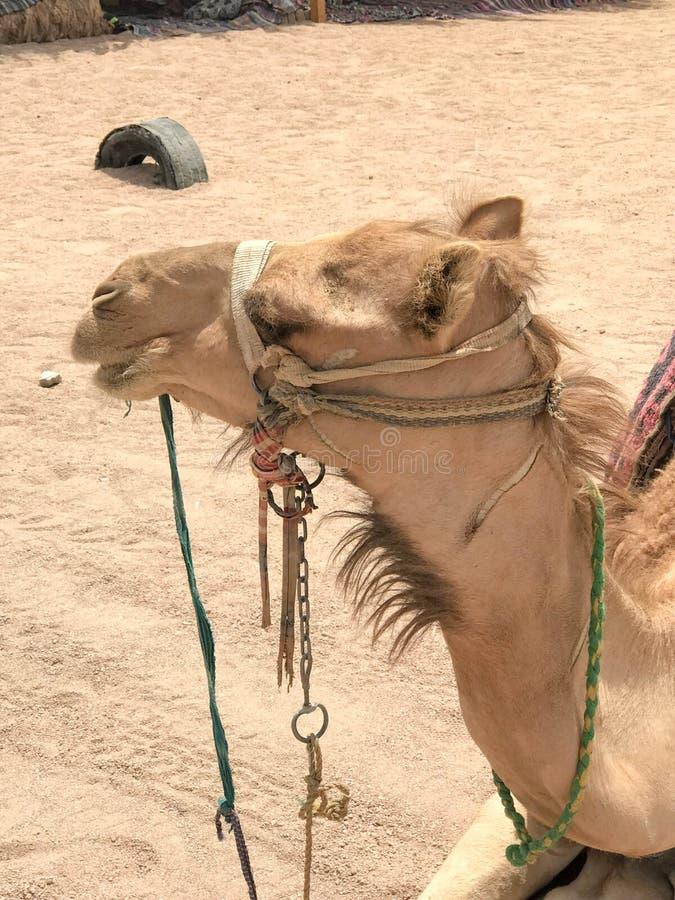 一头大米黄强的庄严骆驼的外形与枪口,一个异乎寻常的训练的动物的面孔的与轻的辔的在它的mu 库存图片