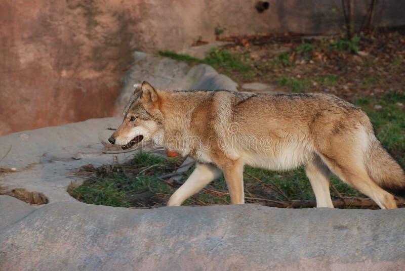 一头大美丽的狼显示他强大的咧嘴和力量 免版税库存图片