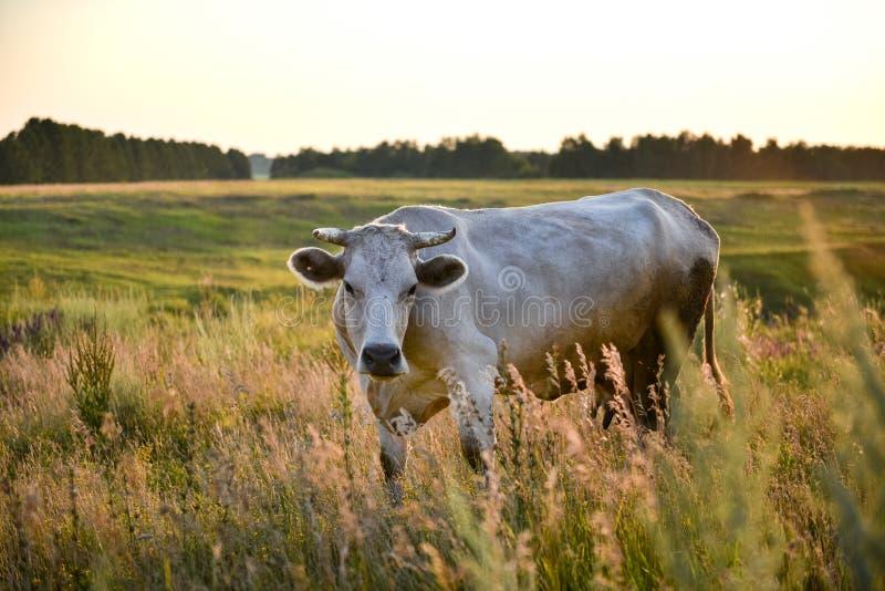 一头大美丽的白色母牛在草甸 免版税库存图片