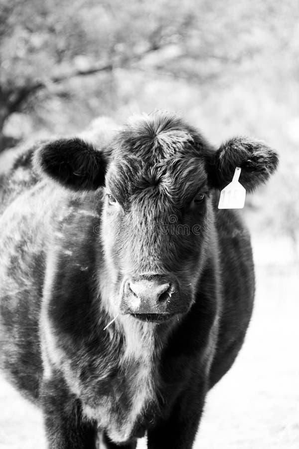 一头好奇母牛的纵向 免版税库存图片