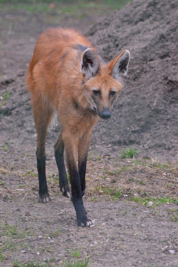 一头孤零零鬃狼在大草原走寻找食物 免版税图库摄影