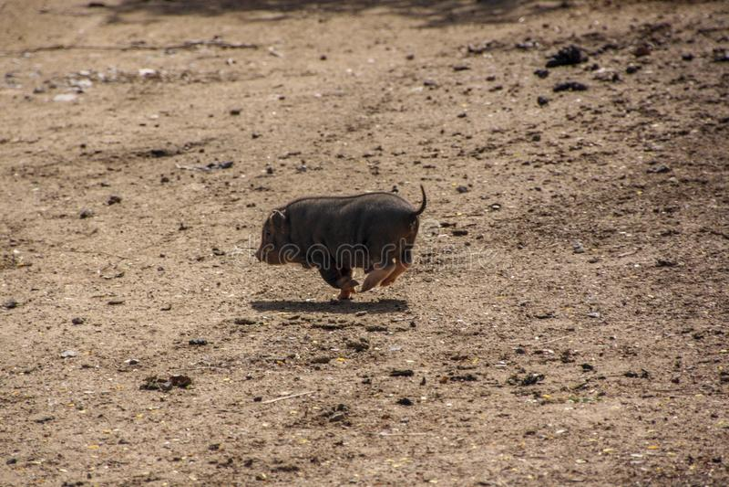 一头小的猪跑掉 库存照片