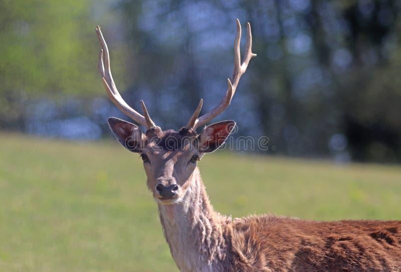 一头小鹿的画象,看照相机 库存图片