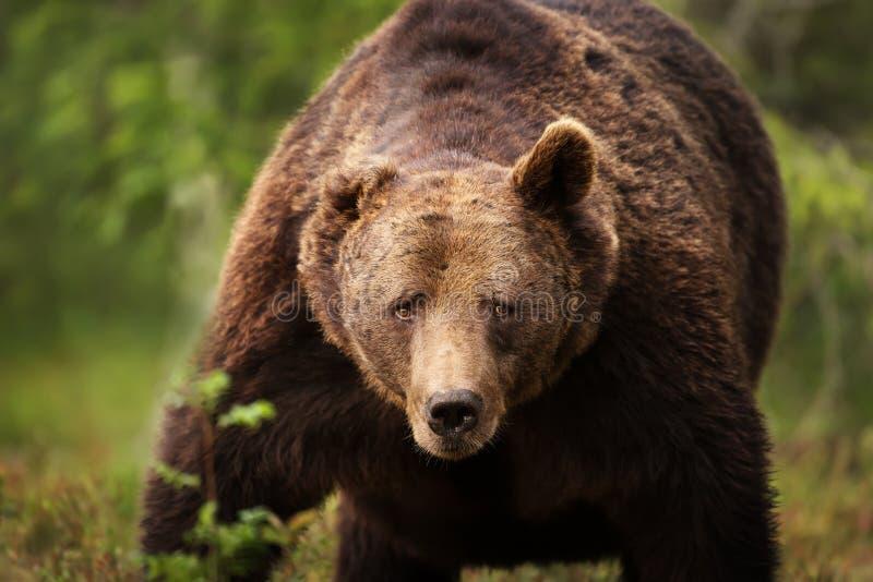 一头巨大的欧洲棕熊的特写镜头 库存照片