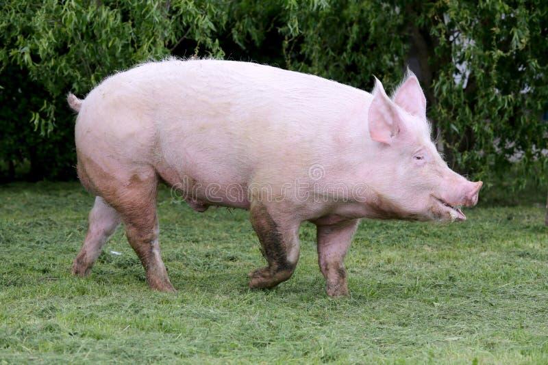 一头幼小家养的猪母猪的侧视图照片在动物农场summe的图片