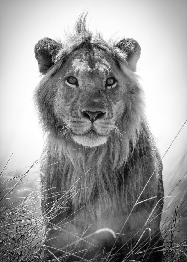 一头幼小,青年期公狮子的画象,他勘测大草原 免版税库存图片