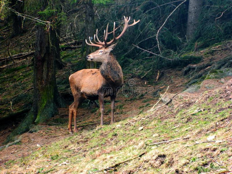 一头庄严棕色鹿在森林里 库存图片