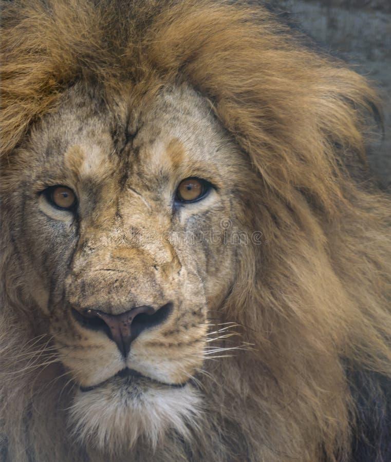 一头恼怒的公狮子的特写镜头-强烈的眼睛 库存照片