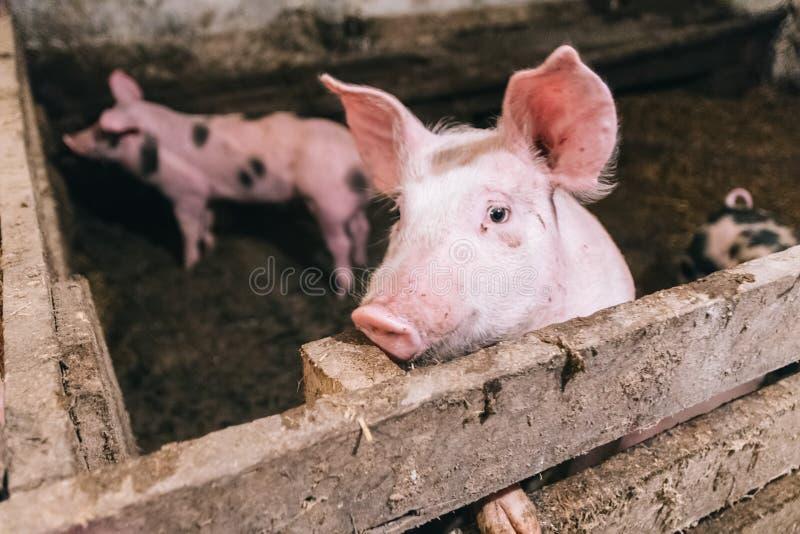 一头桃红色猪的美丽的画象在猪圈的 免版税库存图片