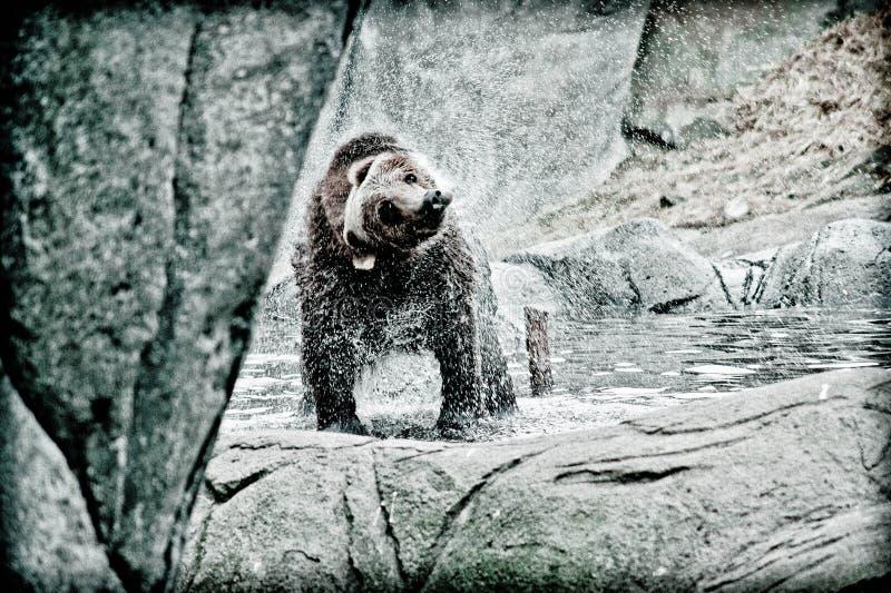 一头棕熊震动水 库存照片