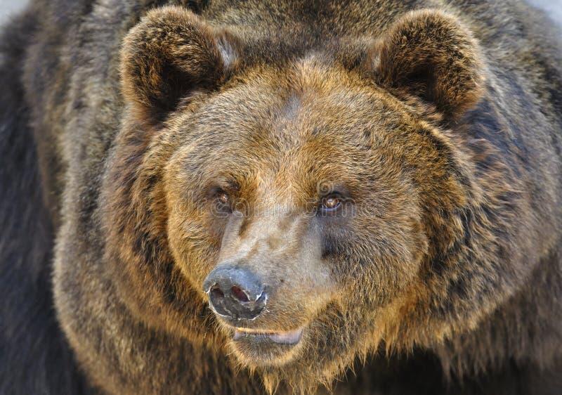 一头棕熊 免版税库存图片