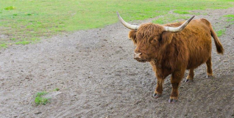 一头棕色高地母牛的画象与站立在沙子的大垫铁的 免版税库存照片