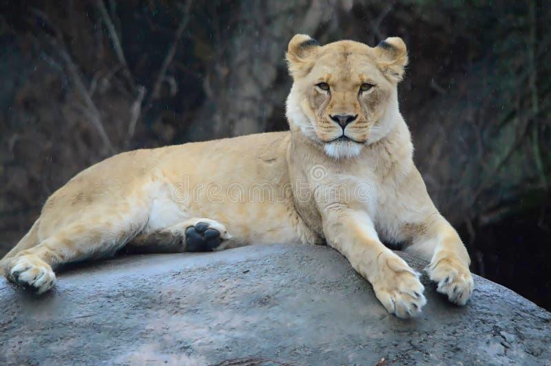 一头母狮子在雨中 免版税库存照片