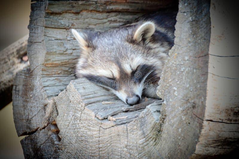 一头浣熊的画象在树干的 免版税库存照片