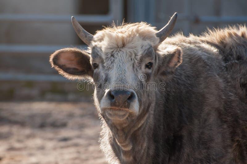 一头灰色母牛公牛的画象 免版税库存照片