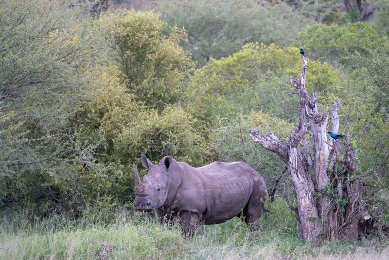 一头犀牛和两只鸟在南非 库存图片