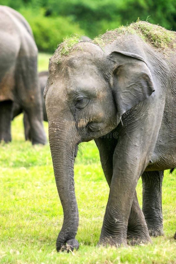 一头狂放的斯里兰卡的大象的特写镜头 库存图片