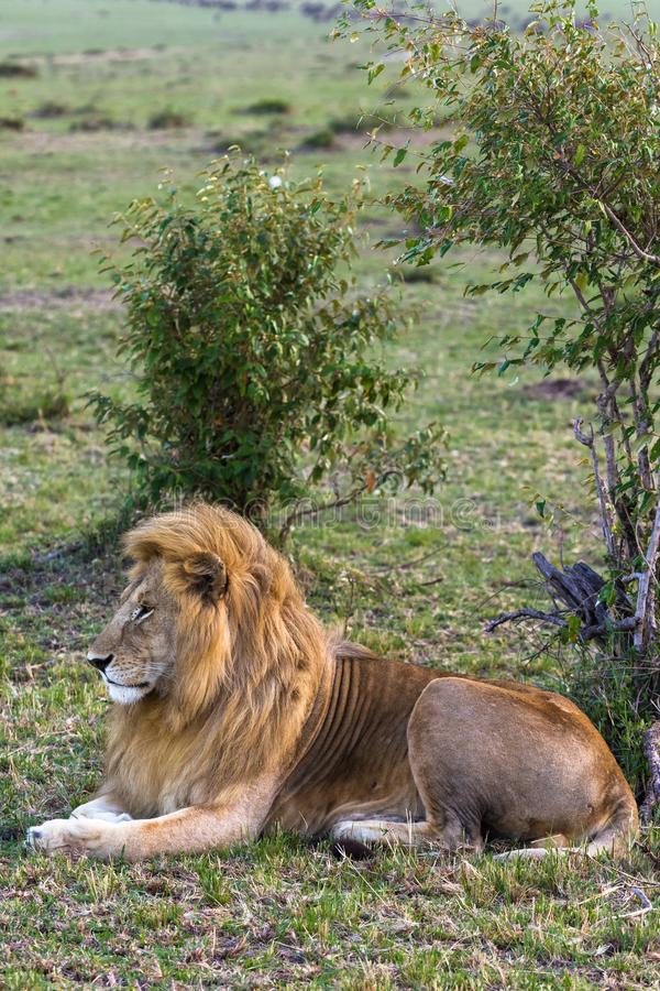 一头狮子的画象在草的 肯尼亚mara马塞语 库存图片