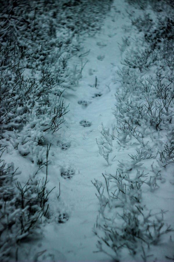 一头狼或一条狗的踪影在雪 库存照片