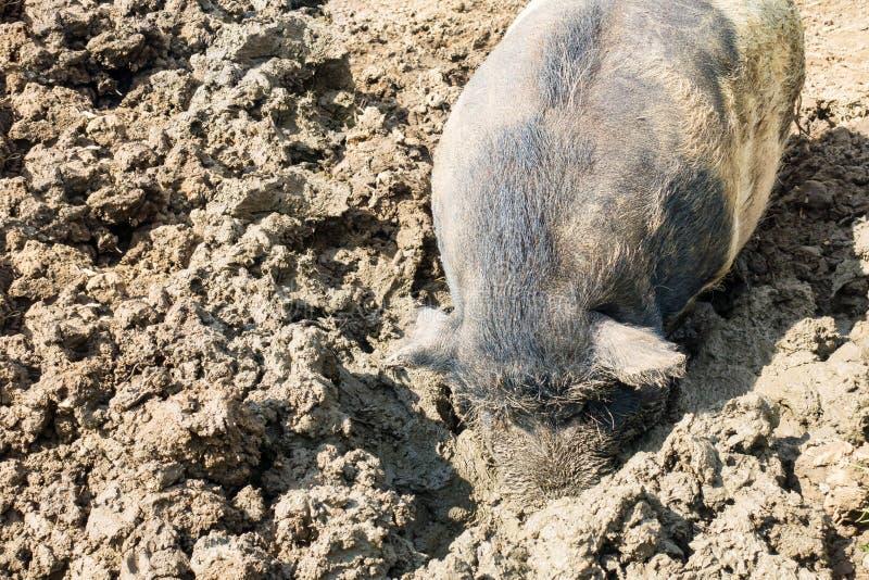 一头猪的特写镜头与口鼻部的在泥 库存照片
