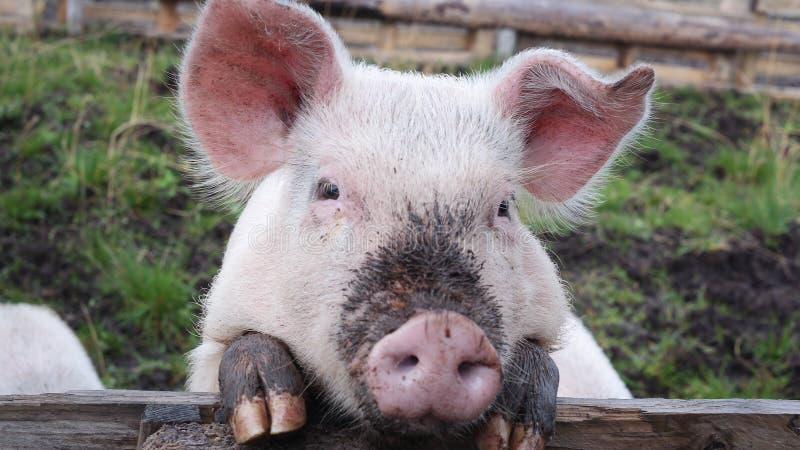 一头猪 免版税库存照片