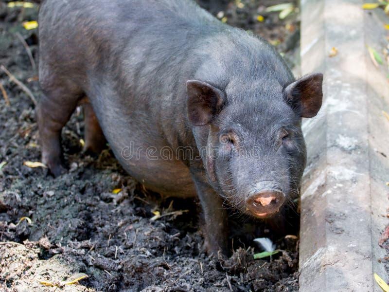 一头白色黑越南猪的特写镜头的画象在晴朗的天气_的一个农场 图库摄影