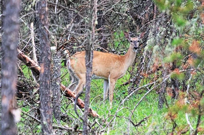 一头白被盯梢的鹿通过地衣看盖了云杉的树 免版税图库摄影