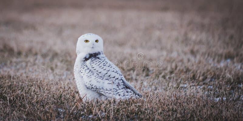 一头美丽的多雪的猫头鹰的画象 库存照片