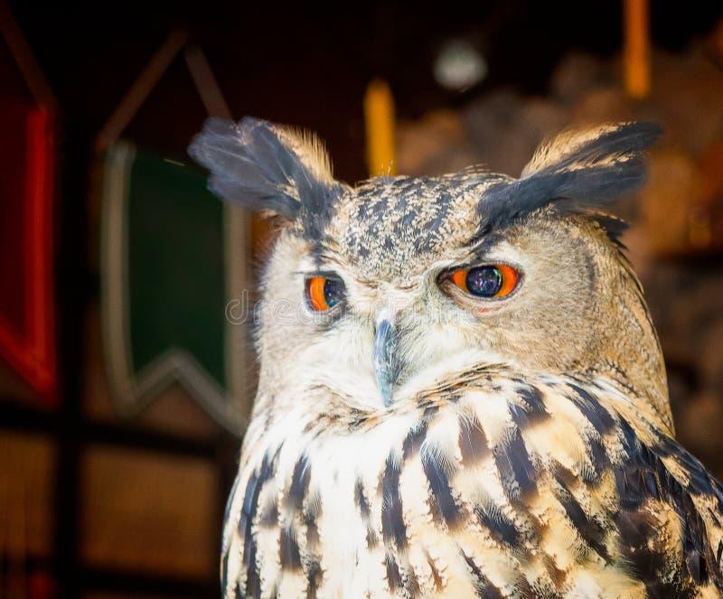一头美丽的猫头鹰的画象 库存照片