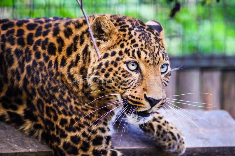 一头美丽的豹子的画象 恼怒的豹子 免版税库存图片
