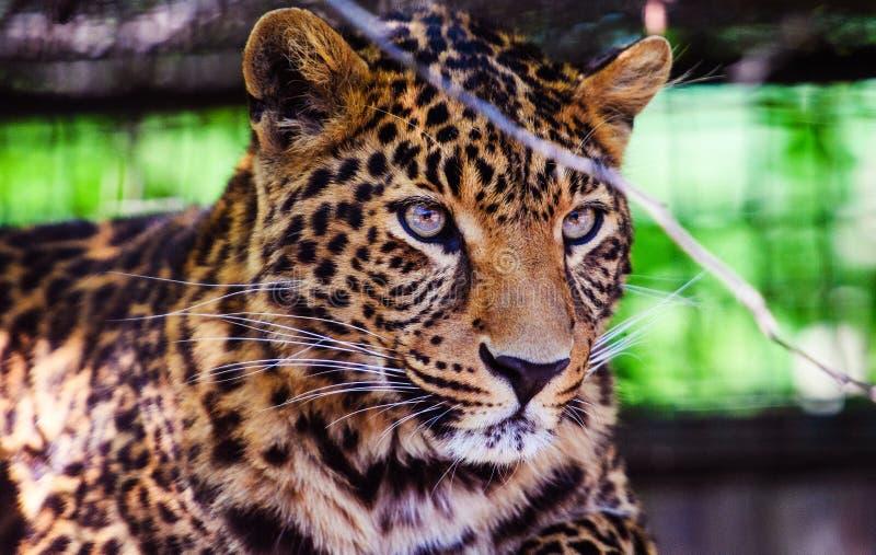 一头美丽的豹子的画象 ?? 库存照片