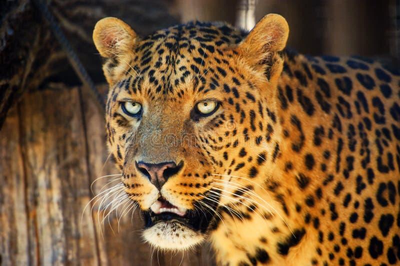 一头美丽的豹子的画象 库存图片